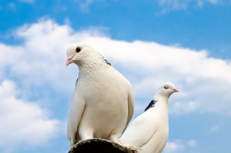 paloma blanca: dos palomas contra el cielo azul Foto de archivo