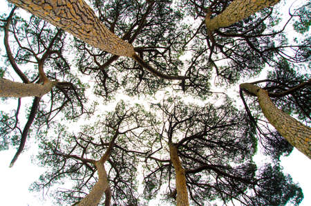 directly below: pine trees view from below