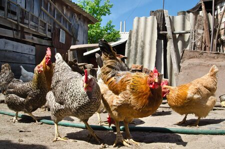 chicken eating on a farm photo