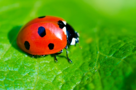 beautiful lady: ladybug on a green leaf macro