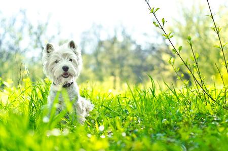 草の上の白い犬