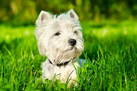 cute westie: white dog on the grass