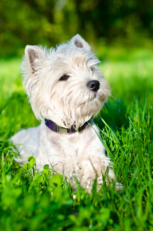 west highland white terrier on the grass photo