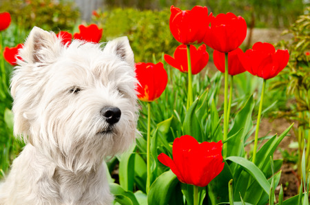 west highland white terrier in the garden photo