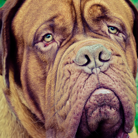 bordeauxdog: french mastiff head closeup outdoors Stock Photo