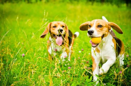 緑の草の上 2 つのビーグル犬