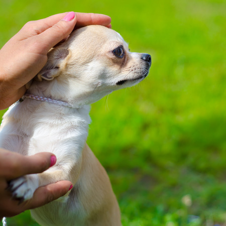 chihuahua on a green grass outdoors photo