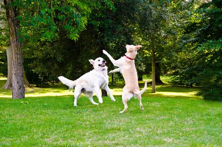 perros jugando: dos perros jugando en una hierba verde al aire libre