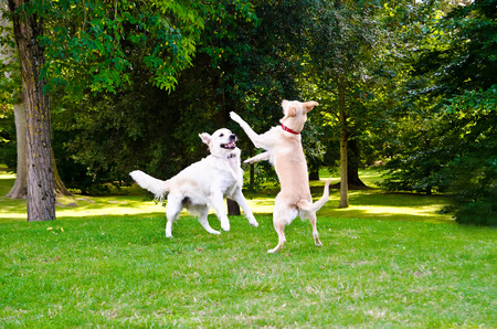 dogs playing: two dogs playing on a green grass outdoors Stock Photo