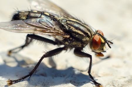 fly sitting on a stone macro