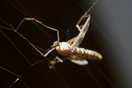 mosquito caught in the spiders web Stock Photo