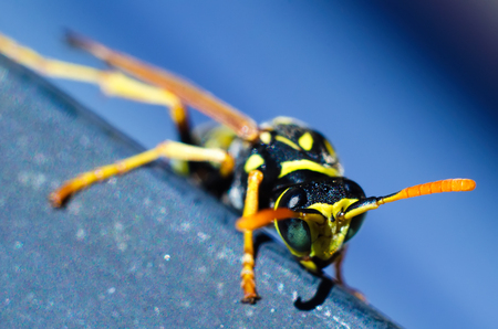wasp on a blue background macro