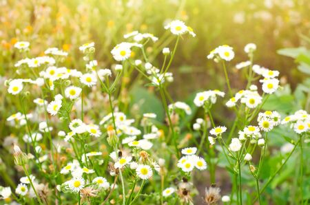 chamomile flowers on the meadow Stockfoto