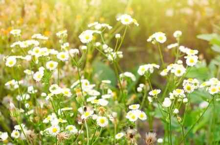 flores de manzanilla en el prado Foto de archivo