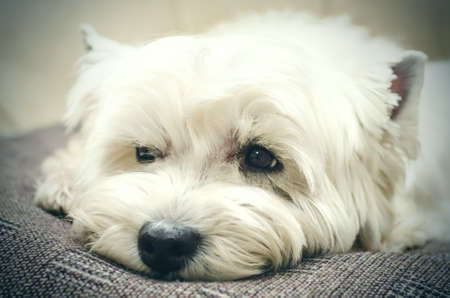 west highland white terrier lying at home