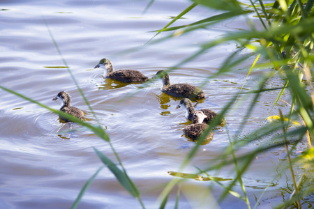 Duck with ducklings on the river