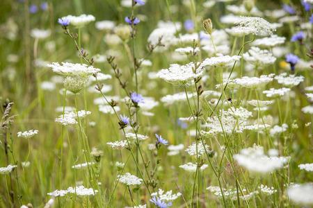 Wildflowers. Summer field
