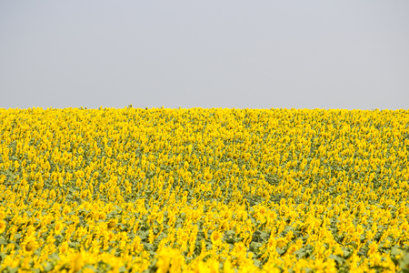 Field with sunflowers. Young sunflowers Stock Photo