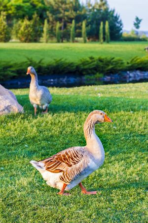 Geese on the grass in the park 版權商用圖片
