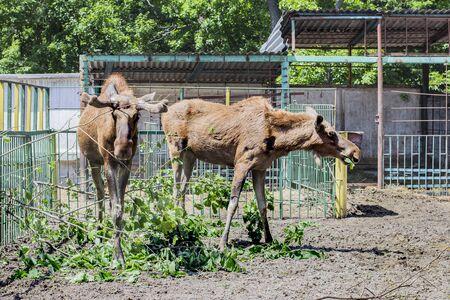 Moose at the zoo. Wild Banco de Imagens
