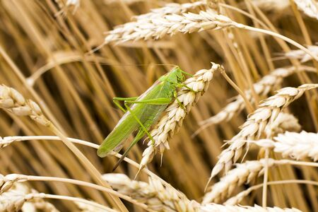 Green grasshopper on a spike Stock fotó