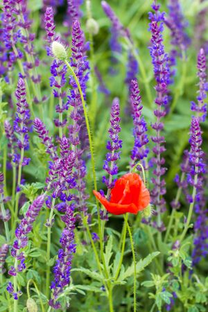 red poppies and purple sage. Wildflowers close-up.