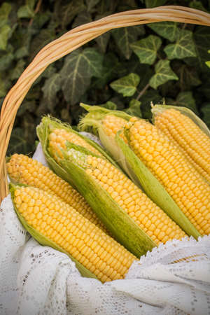 Fresh corn on cob in wicker basket. Untreated corn cobs. Fresh corn vegetable in basket. Harvested corn in wicker basket, freshly picked maize ears out in agricultural field landscape, selective