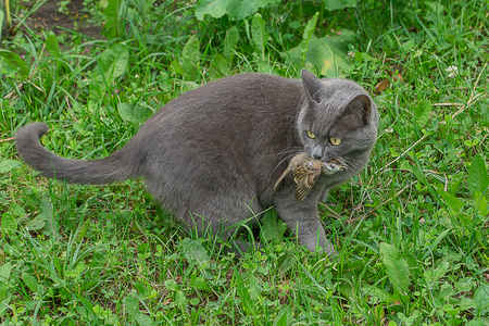 Gray domestic cat catches sparrow. It holds dead bird in his jaw.