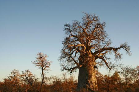adansonia: Giant baobab tree bathed in sunlight, Adansonia digitata
