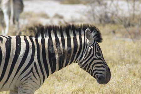chapman's: Zebra.  Plains Zebras, Chapmans race, Equus burchellii.