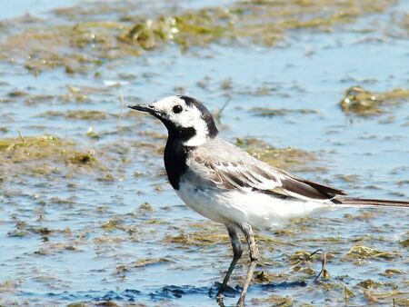 white wagtail walking through the swamp in search of insects photo