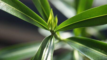 oleander: Young leaves of oleander
