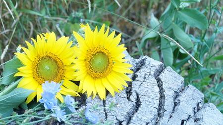 big flower: Big flower of sunflower lying on deck wood