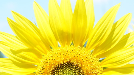 big flower: Big flower of sunflower is turned to the sun Stock Photo