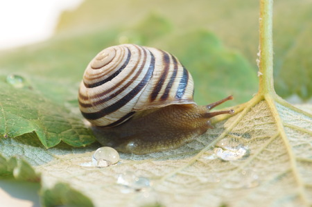 grape snail: Snail isolated on grape leaves.