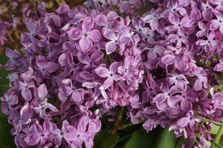Lilac blossoms beautifully in the spring. A lilac bush in bloom.
