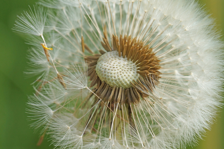 Dandelion fades in the spring and its seeds are carried by the wind Stock Photo
