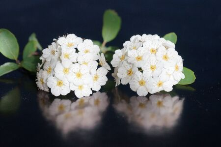 Small white flowers isolated on black background Stock Photo