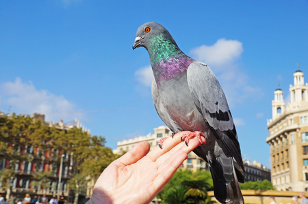 womans hand: The dove sits on a womans hand. Pigeons in the square of Catlonia in Barcelona. The blue dove.