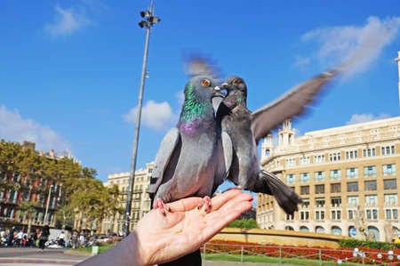 Fighting pigeons. The doves sits on a womans hand. Pigeons in the square of Catlonia in Barcelona. The blue dove.