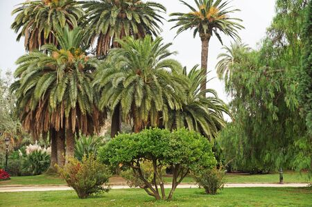 A hot paradise. Palm trees in the garden. Palms in the city park of Barcelona. Date palms in the park.