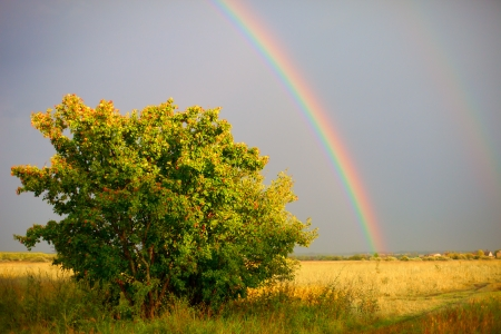 Rainbow and one tree after rain meadow evening photo