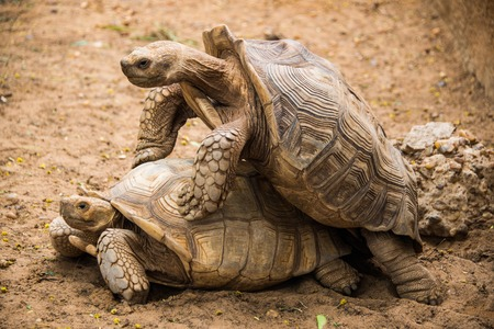 Two giant tortoises mating in the zoo