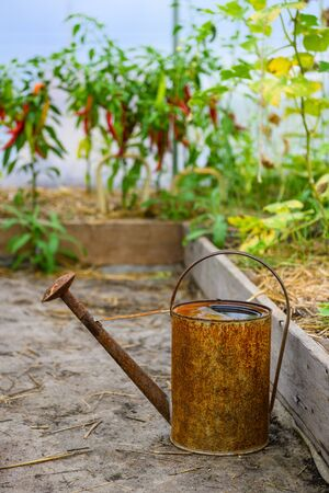 Old rusty watering can inside small greenhouse with tomato and pepper plants. Watering can for watering in the greenhouse. Stock Photo