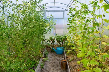 View on a small covered greenhouse with old plastic and metal watering cans and growing cucumbers, tomatoes, hot pepper. Stock Photo