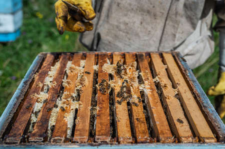 Close up view of the opened hive showing frames populated by honey bees. Honey bees crawl in an open hive on honeycomb wooden honeycombs doing teamwork.
