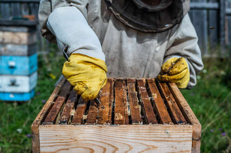 Honey harvest in apiary. Bees on honeycomb. Beekeeper removes excess honeywax to pull out frame with honey. Imagens