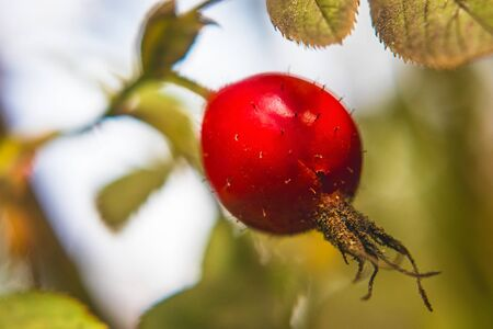 red rosehip on bush, close-up view, leaves in background, summer sunny day