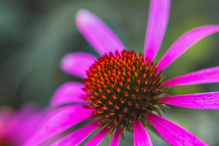 blooming Echinacea purpurea flower, detail of head and petals, blurred background