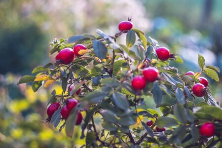 red rose hips on bush with green leaves, in the garden Banque d'images